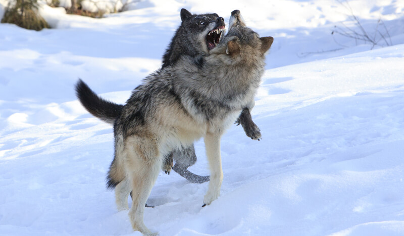 Which wolf is winning?